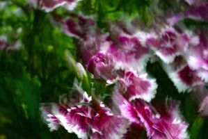 Carnation Impressions by organicvision