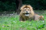 Angry Lion by NB-Photo