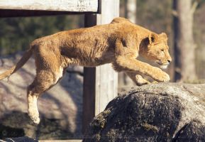 Jumping lion, part II. by Ravenith