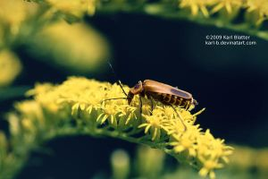 Lightning Bug on Goldenrod by Karl-B