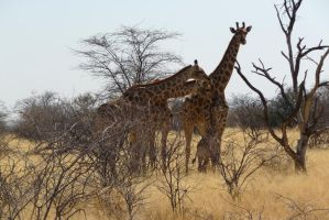 The giraffe family by Windstern
