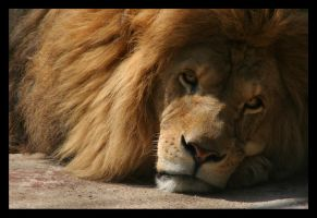 Lion Portrait II by sekhmet-neseret