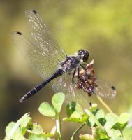 Dragonfly by Astrantia01