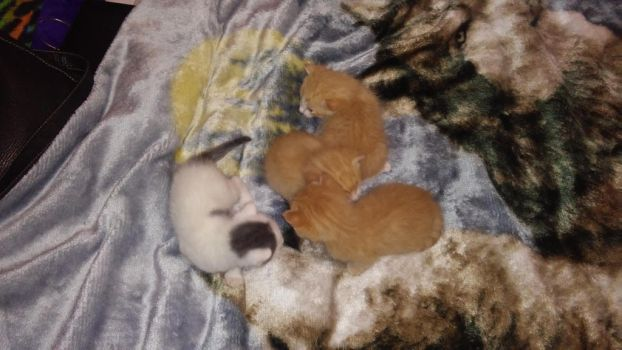 Male kittens kitten update by angelinaxrose