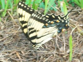 Tiger Swallowtail by AetheriumDreams