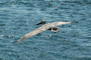 So Cal Pelican by stevecliff