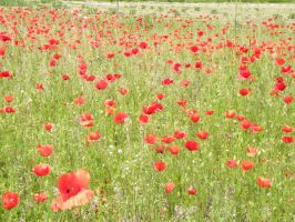 .. Les coquelicots.. by Flore-stock