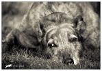 Old Greyhound by marimo77