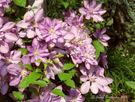Beautiful Clematis by jim88bro