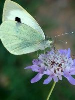 Large white butterfly by gonzaleztitorenko