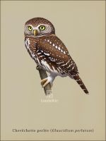 Pearl-spotted Owlet by Leaubellon