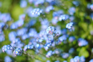 Forget me Nots. by MaePhotography2010