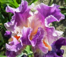 Ruffled Iris by artamusica
