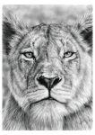 Lioness Stare in Graphite Pencil on Bristol Paper. by JonARTon