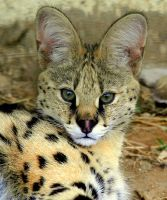 Serval cat by McCaren