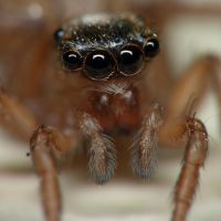Face of a Salticid by Metkan