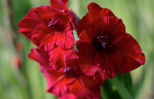 Gladiola Red by Redsterfish