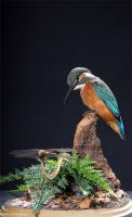 Taxidermy - Peeking Kingfisher by Illahie