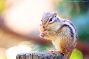 Chipmunk at Lunch by simzcom