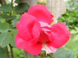 Rose 02 by DKD-Stock