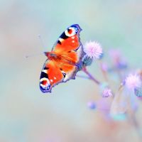 Peacock Butterfly by all17
