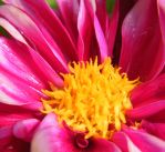 Hot Pink Dahlia by Variety-Stock