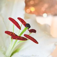 Lily 3 by FrancescaDelfino