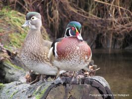 Literal Wood Duck X2 by vanwaglajam