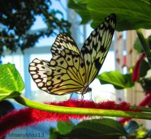 Rice Paper Butterfly Beauty by Michies-Photographyy