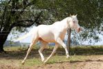 KR arabian cremello trot extended side view by Chunga-Stock