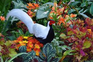 Silver Pheasant in the garden by Drakesaurian