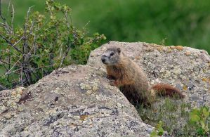 Young Yellow-bellied Marmot by hunter1828
