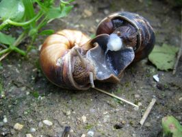 snails mating by Kotka666