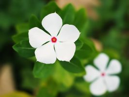 White Periwinkle by WillTC