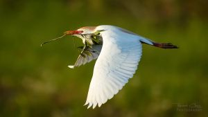 .:Cattle Egret I:. by RHCheng