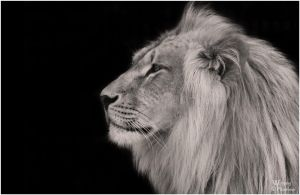 BW Lion King by W0LLE