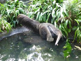 Anteater by NaturalBeauty-Photos