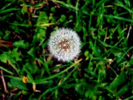 Solitary Dandelion by Snitz07