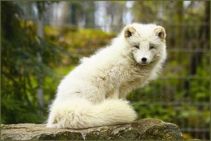 .: White Fluffy :. by WhiteSpiritWolf
