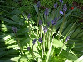 Bluebells - unopened by jess13795