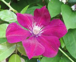 Lilac clematis 8 by Kattvinge