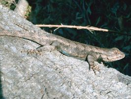 fence lizard 2 by blackwargreymonXI