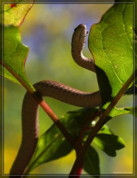 Brown Snake 40D0029132 by Cristian-M
