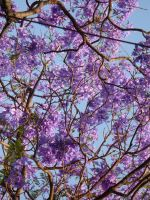 jacaranda flowers by samo19