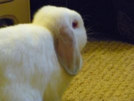White loppy-lop by Bumbiddy
