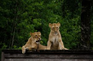 Lions by Electrokopf