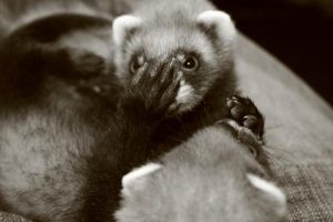 ferret play by sleepsoftbeautiful