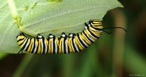 This is a Monarch Caterpillar by natureguy