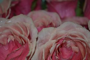 Pink Roses 1 by tastybedsore
