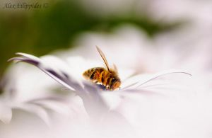 busy bee by Alexios78